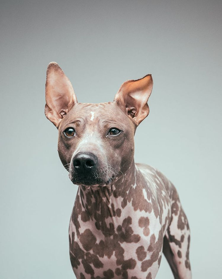 American-Hairless-Terrier