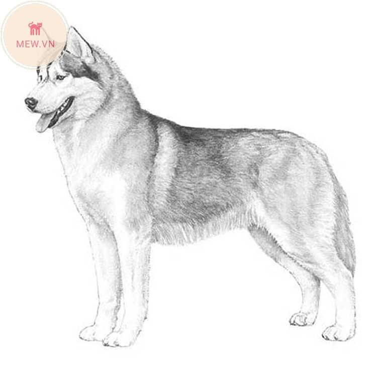 Ngoại hình chó Siberian Husky