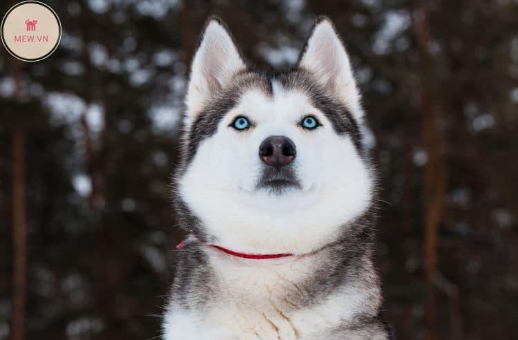 Phần đầu của chó Siberian Husky