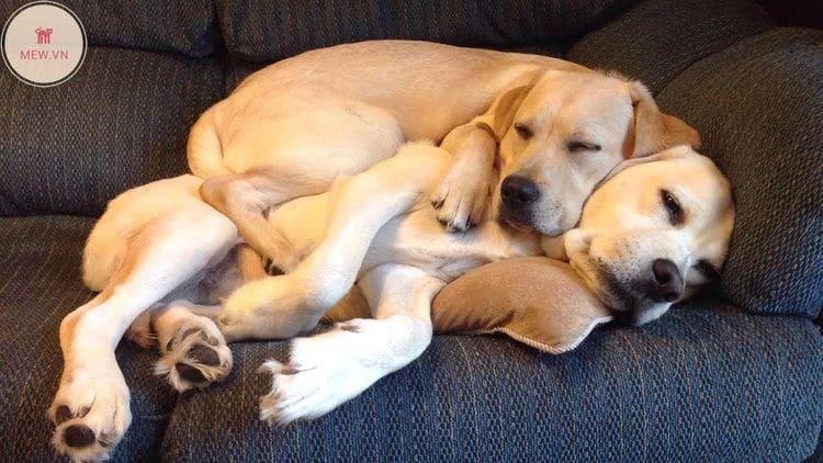vuốt ve âu yếm giúp giảm stress cho chó