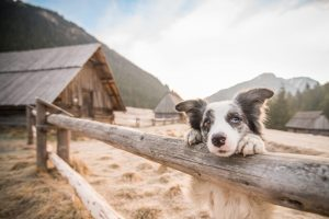 cho-chan-cuu-border-collie-1