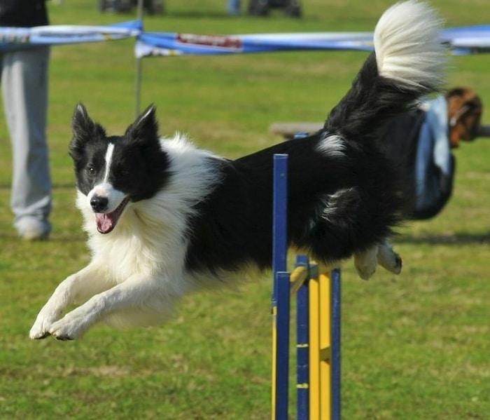 Huấn luyện chó Border Collie