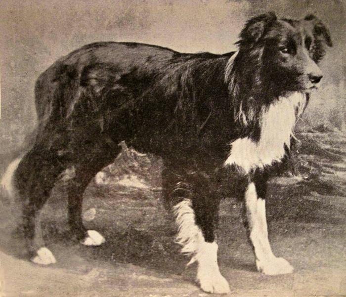 Old Hemp - Tổ tiên của chó Border Collie