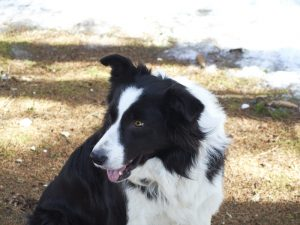 cho-chan-cuu-border-collie-30