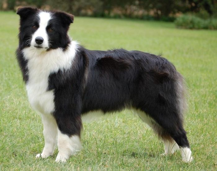 Chó Border Collie nhanh nhẹn và thanh thoát