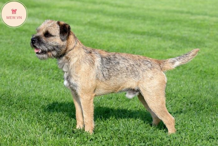 Chó sục Border Terrier