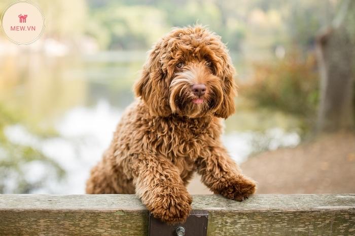 Chó Labradoodle ít rụng lông