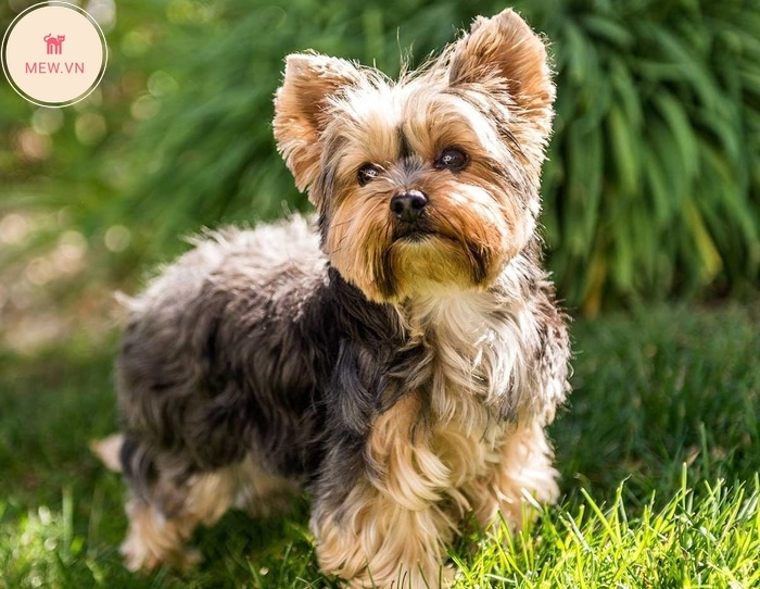 Chó Yorkshire Terrier