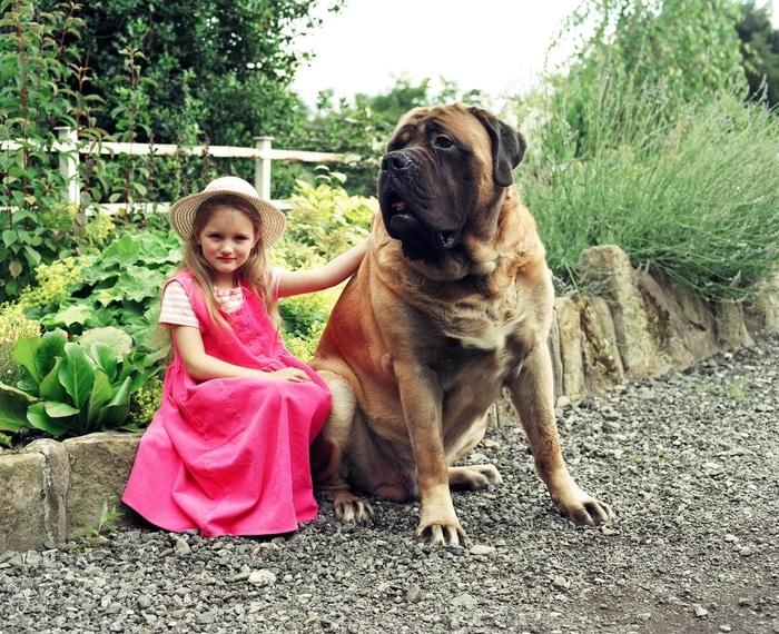 Chó ngao Anh English Mastiff