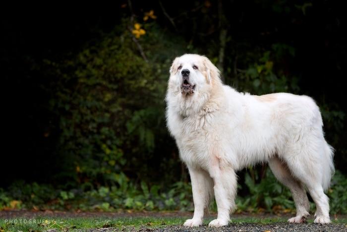 Giống chó Great Pyrenees