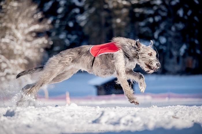 Chó Irish Wolfhound