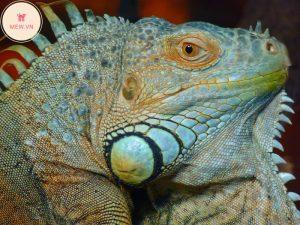 rong-nam-my-green-iguana-1