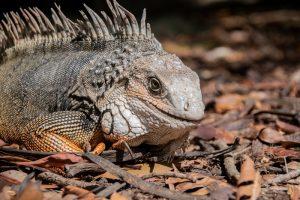 rong-nam-my-green-iguana-11
