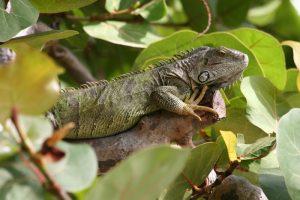 rong-nam-my-green-iguana-12