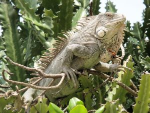 rong-nam-my-green-iguana-13