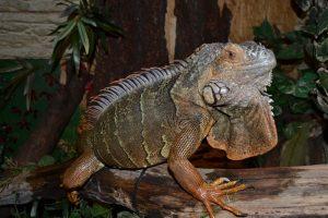 rong-nam-my-green-iguana-14