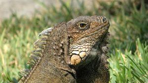 rong-nam-my-green-iguana-15