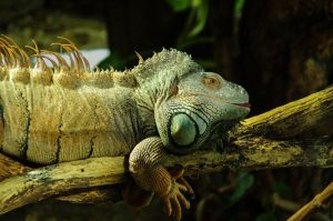 rong-nam-my-green-iguana-16
