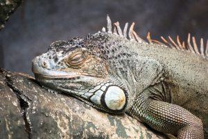 rong-nam-my-green-iguana-17