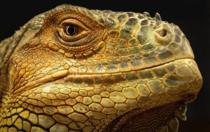 rong-nam-my-green-iguana-19