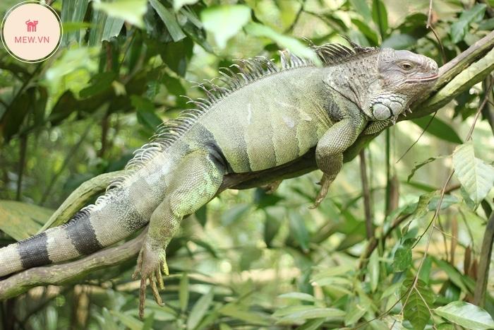 Rồng Nam Mỹ Green Iguana phơi nắng