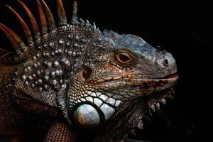 rong-nam-my-green-iguana-20
