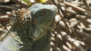 rong-nam-my-green-iguana-21
