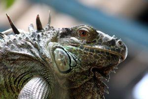 rong-nam-my-green-iguana-22