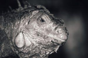 rong-nam-my-green-iguana-23