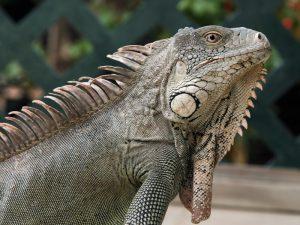 rong-nam-my-green-iguana-24