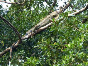 rong-nam-my-green-iguana-25