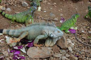 rong-nam-my-green-iguana-26