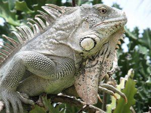 rong-nam-my-green-iguana-27