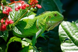 rong-nam-my-green-iguana-28