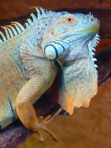 rong-nam-my-green-iguana-29