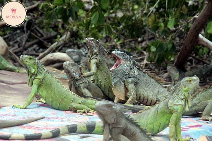 Rong nam my xanh green iguana song thanh dan