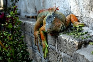 rong-nam-my-green-iguana-30
