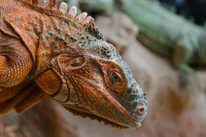 rong-nam-my-green-iguana-31