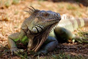 rong-nam-my-green-iguana-8