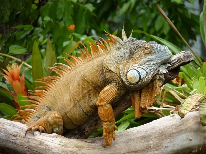 Rồng Nam Mỹ trưởng thành phơi nắng.