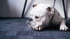 dat-ten-cho-bulldog-1