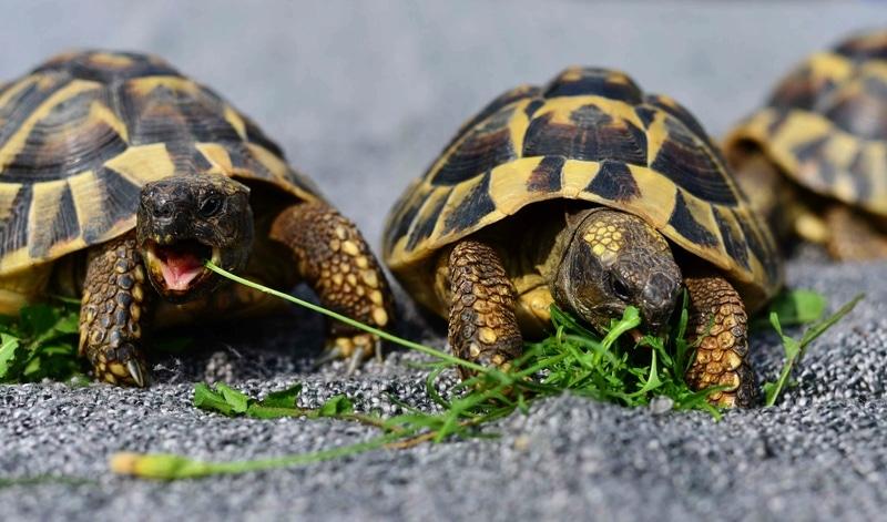 Rùa Cạn ăn rau