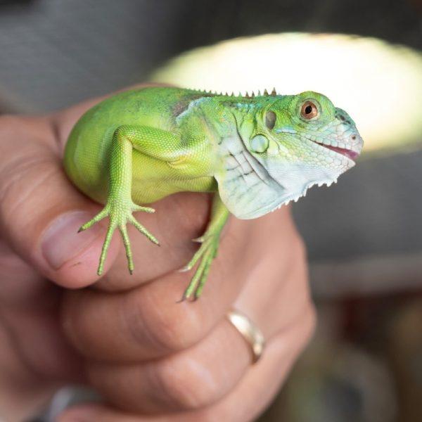 Rồng Nam Mỹ Xanh Lá - Green Iguana 2