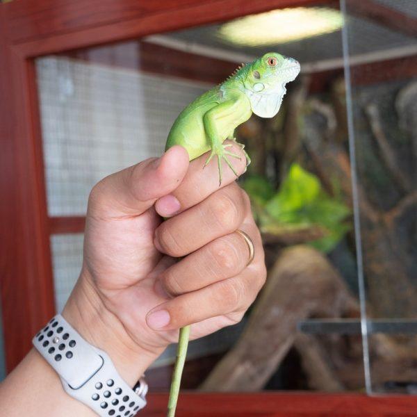 Rồng Nam Mỹ Xanh Lá - Green Iguana 5