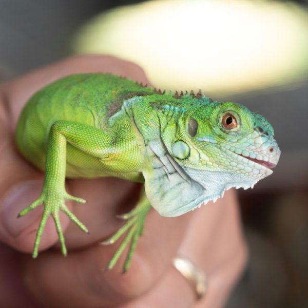 Rồng Nam Mỹ Xanh Lá - Green Iguana 6