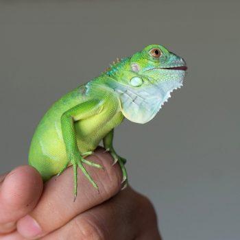 Rồng Nam Mỹ Xanh Lá - Green Iguana 7
