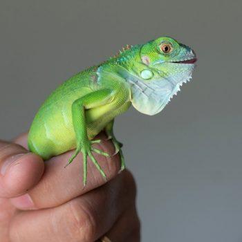 Rồng Nam Mỹ Xanh Lá - Green Iguana 8