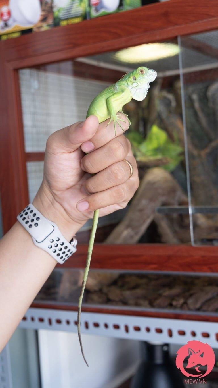 Rồng Nam Mỹ Xanh Lá cỡ nhỏ