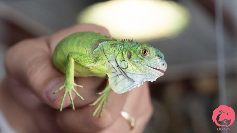 Rồng Nam Mỹ xanh lá có giá tốt nhất