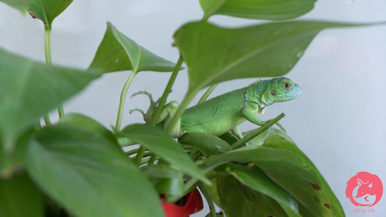 Green Iguana cần môi trường sống thích hợp
